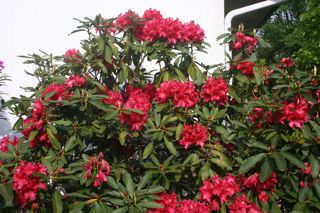 Rhodie Red IMG_0833