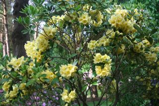 Rhodie Yellow IMG_0828