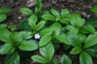 Native Star Flower IMG_0944