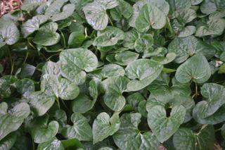 Native Dark Green Shiny Leaves IMG_0948