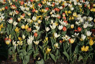 Tulips IMG_5801