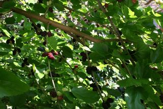 Mulberries Many IMG_9583