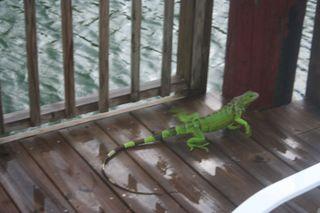 Iguana 2 IMG_2165