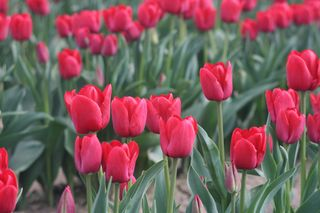 Tulips 251 (2)