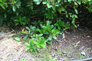 Rhodies Growing on Ground