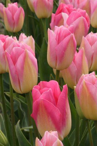 Tulips Pink BigA