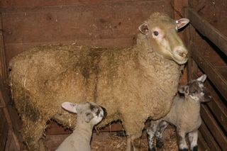Sheep and Twins Beckys