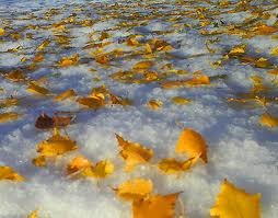 Yellow-leaves-on-snow