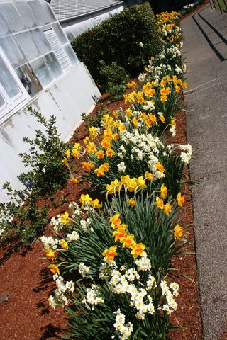 Daffodil Bed