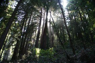 Sun Redwoods