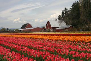Tulips Barns 2013