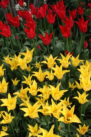 Tulips Red and Yellow Spiked in Bed