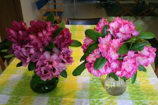 Rhodies Two Vases