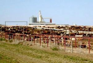 Feedlot-1-Photo-H201-300x206