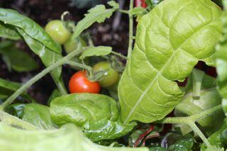Tomato Among Chard IMG_0585