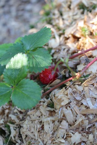 Strawberry IMG_0566