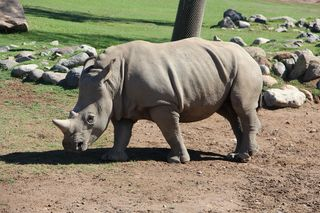 Safari Park Rhino IMG_5265