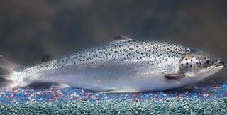 Salmon GMO ucm472654