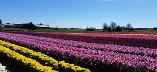 Tulip Firlds 2016