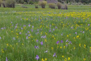 Field-of-wild-iris-near-stonewall