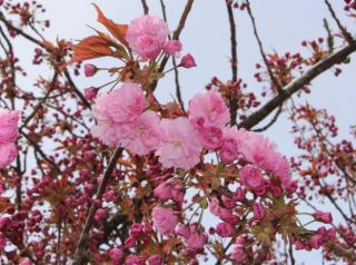Cherry Blossoms Dark