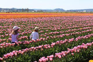 Tulips 1 6a00e550081576883401a3fcef20dc970b-320wi