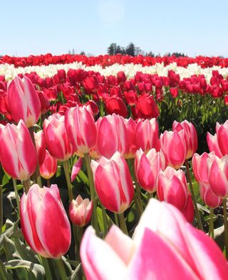 Tulips Pink Stripped IMG_0761.jpg.exporting