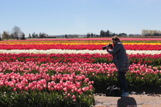 Tulip Fields With Photographer
