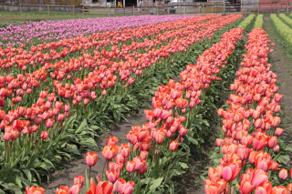 Tulip Fields 2917