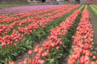 Tulip Fields 2917