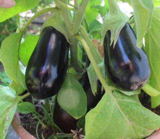 Eggplant Two Big