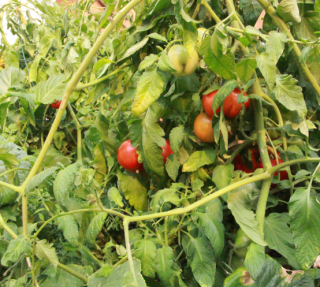 Red Tomatoes in Garden