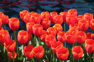 Tulips Orange Group