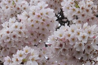 Cherry Blossoms Ireland IMG_9941