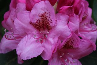 Rhodie Pink Close