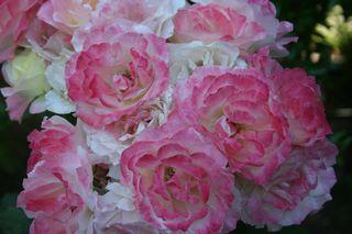 Roses From Judy's Garden