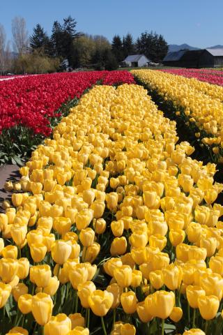 Yellow Tulips in Field