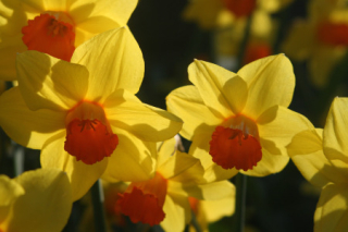Daffodils Resized IMG_0808
