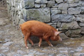 Pig IMG_7914 copy