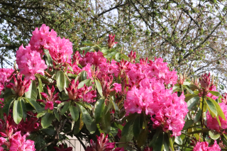 Pink Rhododendrons Blooming in Rita Robison's Yard