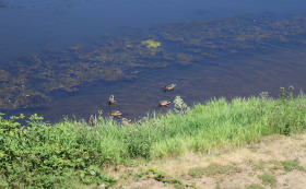 River With Algea and Ducks Bothell 8-19