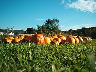 Halloween_pumpkins_in a Field With Blue Sky