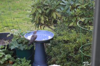 Woodpecker Perched on Birdbath