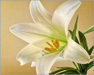 Easter-Lilly White Large One Full Frame 1270523_640