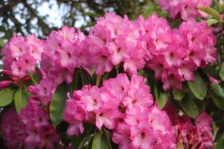 Rhodies Pink Lots on a Bush IMG_3819